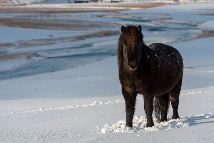 Zwart paard in de witte sneeuw
