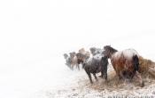 IJslandse Paarden in de sneeuw