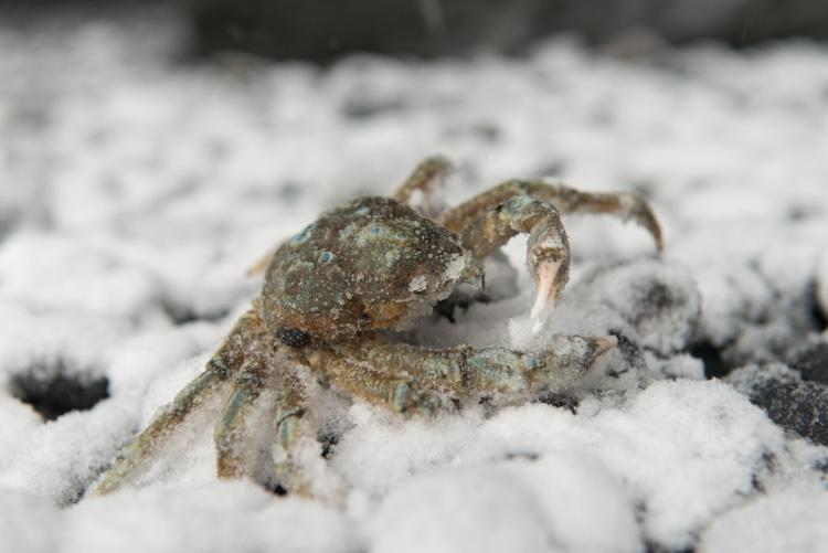 Krabben hebben het moeilijk